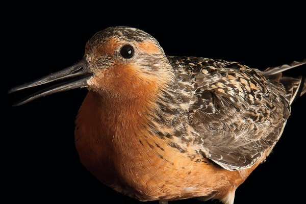 Red knot by Joel Sartore
